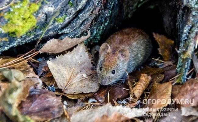 Как спасти яблоню, если ее погрызли мыши ?