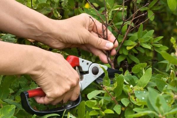 Как правильно подкармливать кусты жимолости весной и летом для хорошего урожая