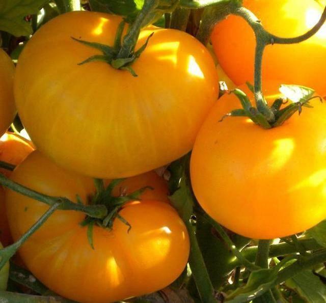 Томаты «апельсин»: сортовые особенности, нюансы выращивания, отзывы
