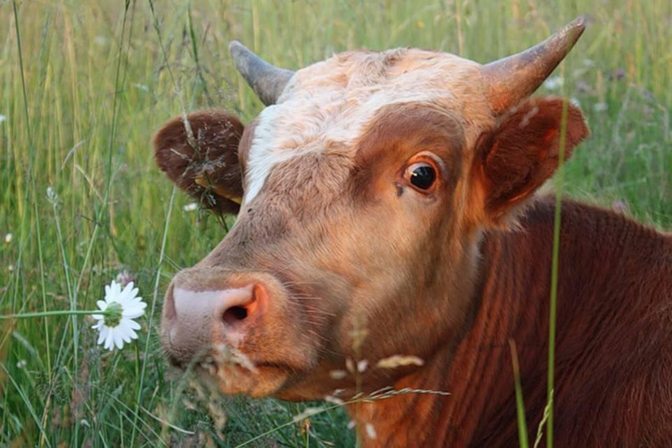 Абсцесс у коровы: причины, признаки и лечение, профилактика