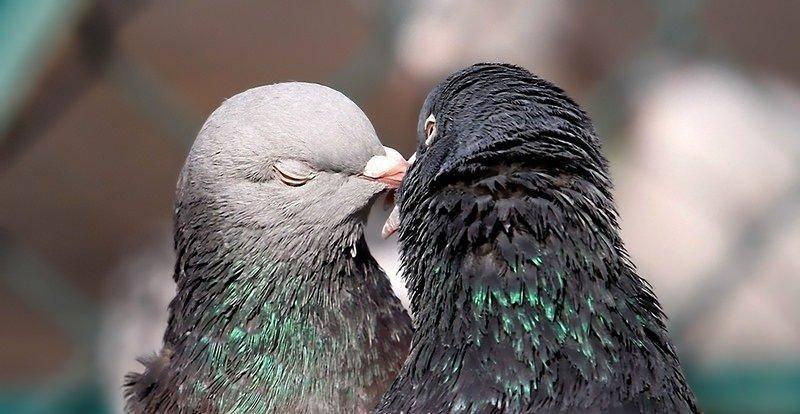 Сколько дней и как часто голуби высиживают яйца