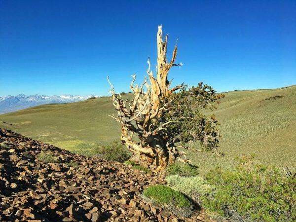 Самое старое дерево в мире – древняя сосна в калифорнии