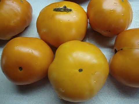 Сорт томата алтайский оранжевый: описание сорта, фото и отзывы