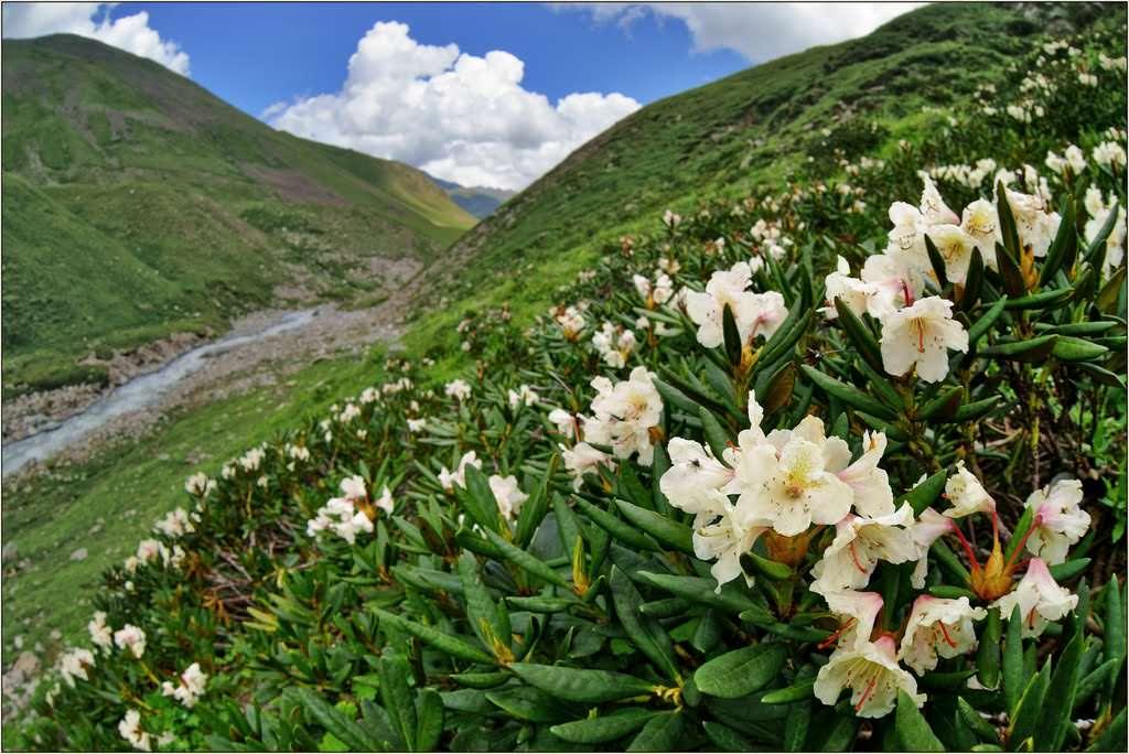 Рододендрон польза и вред. рододендрон кавказский: полезные свойства и противопоказания, применение в народной медицине