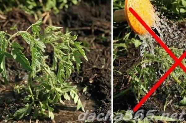 Поливаем рассаду помидоров правильно, чтобы она была крепкой и не вытягивалась
