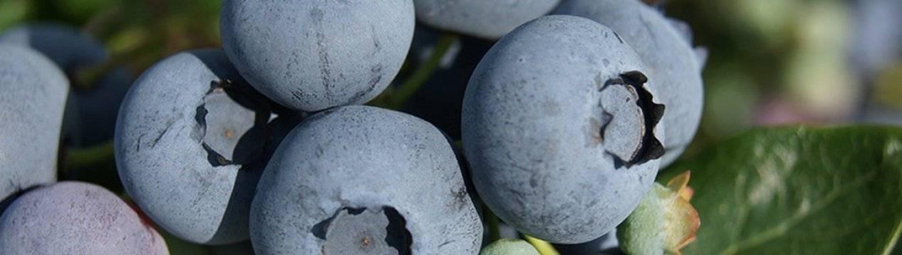 Голубика эллиот: правила выращивания, польза и вред