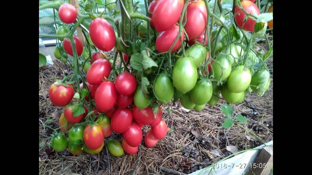 Топ лучших сортов томатов для краснодарского края в открытый грунт