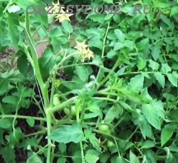 Основные правила опрыскивания борной кислотой завязей томатов