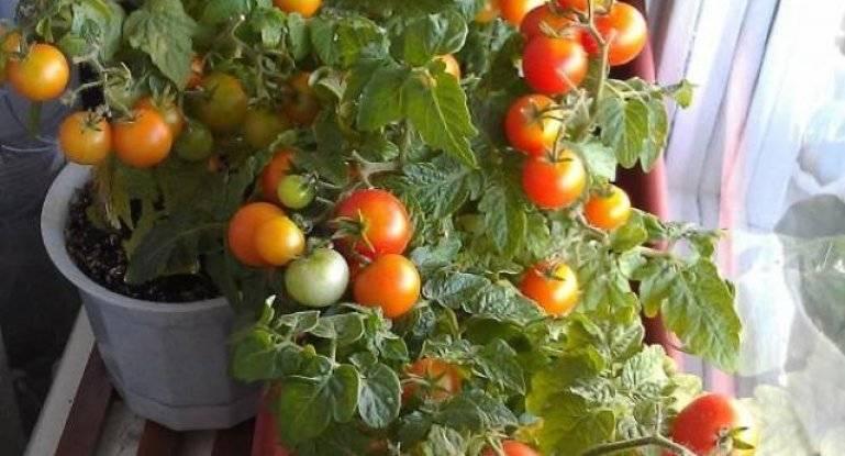 """Стоит ли выращивать низкорослые томаты – 8 аргументов """"за"""""""