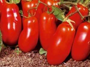 Что за помидоры сорта «ракета»?