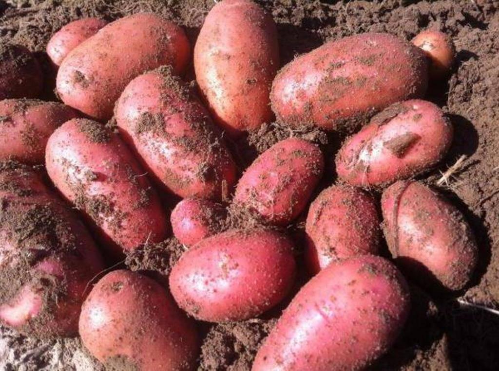 Особенности сортов картофеля «ред леди», «леди клер» и «леди розетта»