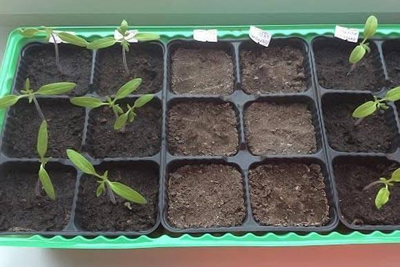 Подкормка помидоров дрожжами: рецепт, как ее приготовить в домашних условиях для рассады и взрослых томатов, когда и как вносить удобрения в теплице, после пикировки