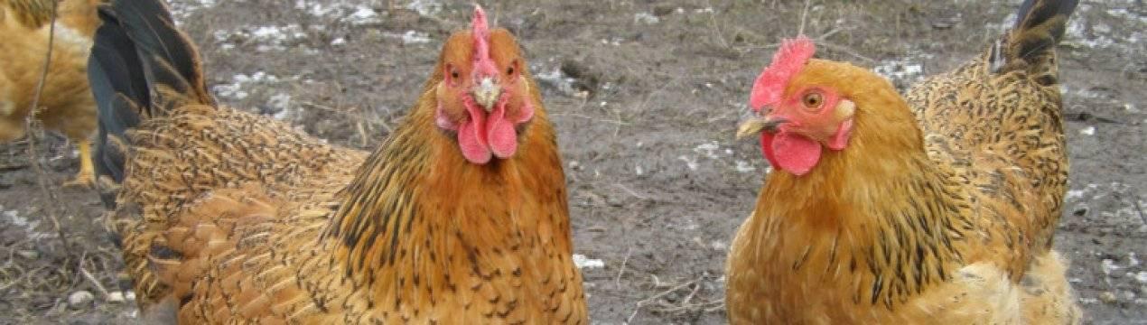 Описание породы кур кучинская юбилейная