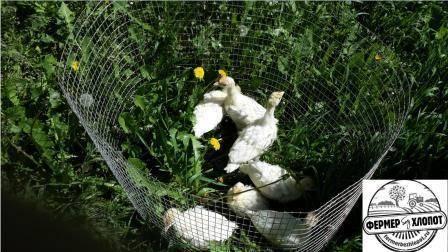 Бройлерные индюки: выращивание в домашних условиях
