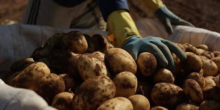Какие сорта картофеля самые вкусные и урожайные для подмосковья