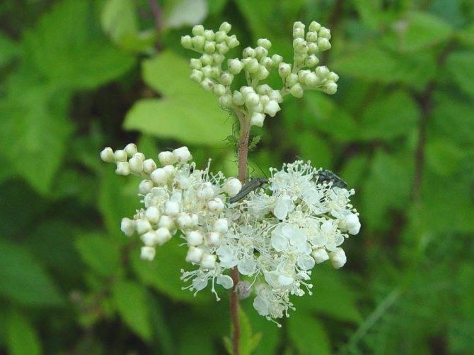 Лабазник (таволга) – лечебные свойства и противопоказания несколько рецептов применения лабазника