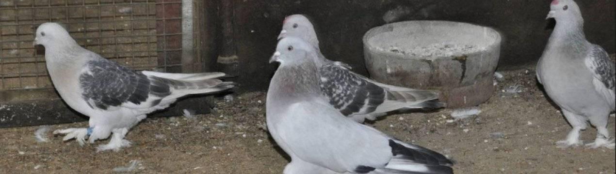 Вертячка у голубей - симптомы, стадии болезни и методы лечения