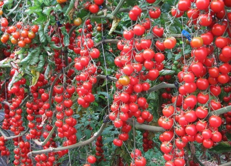 Томат красная гроздь: описание и характеристика, урожайность с фото