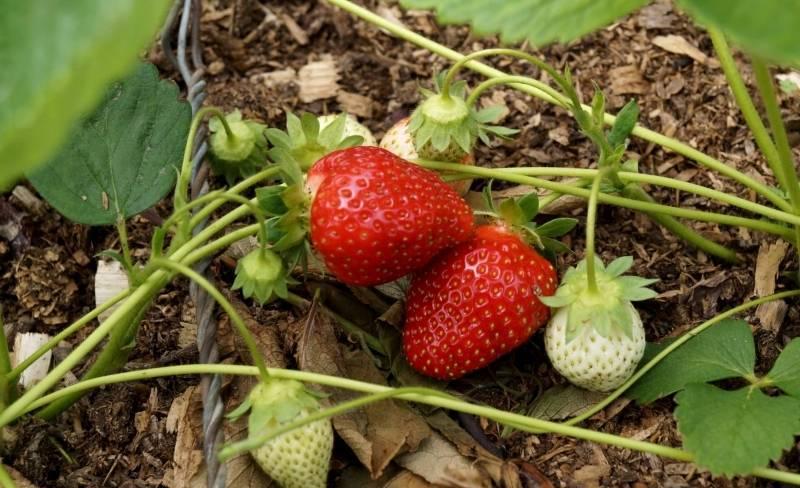Как посадить и вырастить клубнику — землянику сорта «дивная»