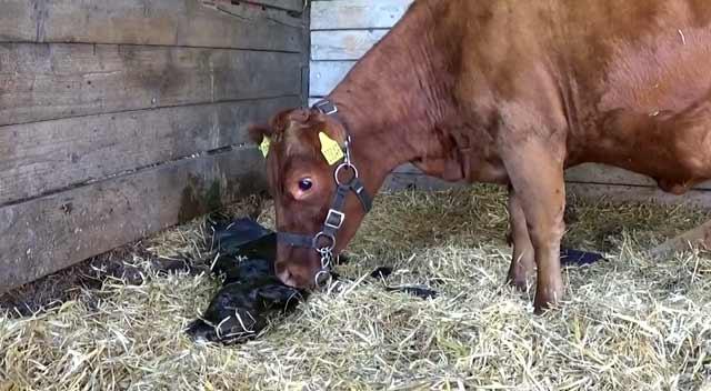 От чего зависит молочная продуктивность коров