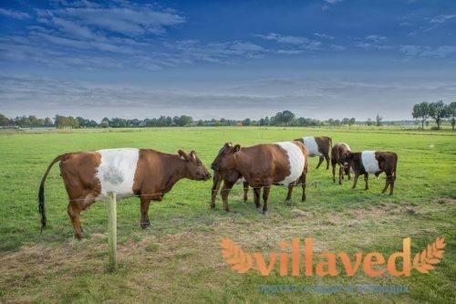 Симптомы пареза у коровы после отёла и его лечение