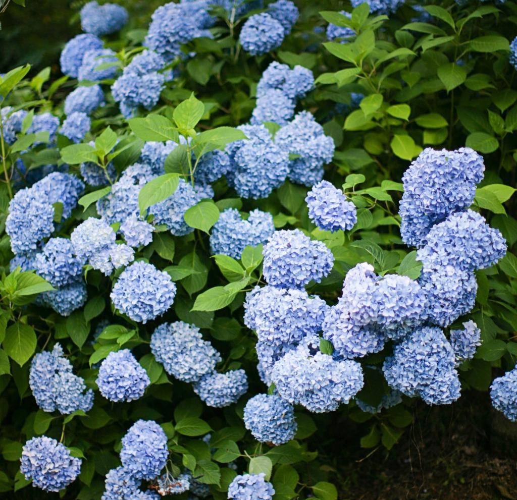 Гортензия никко блю крупнолистная hydrangea macrophylla «nikko blue»