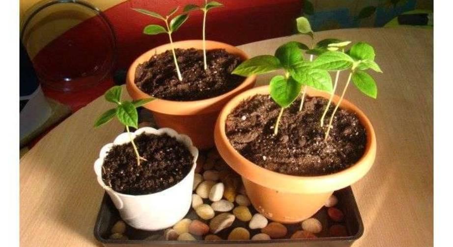 Выращивание голубики, посадка и уход