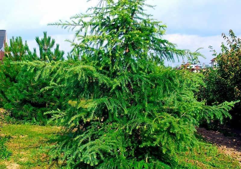 Особенности посадки и уход за японской лиственницей: описание, виды с фото