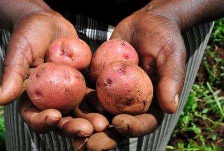 Преимущества и недостатки выращивания картофеля по голландской технологии