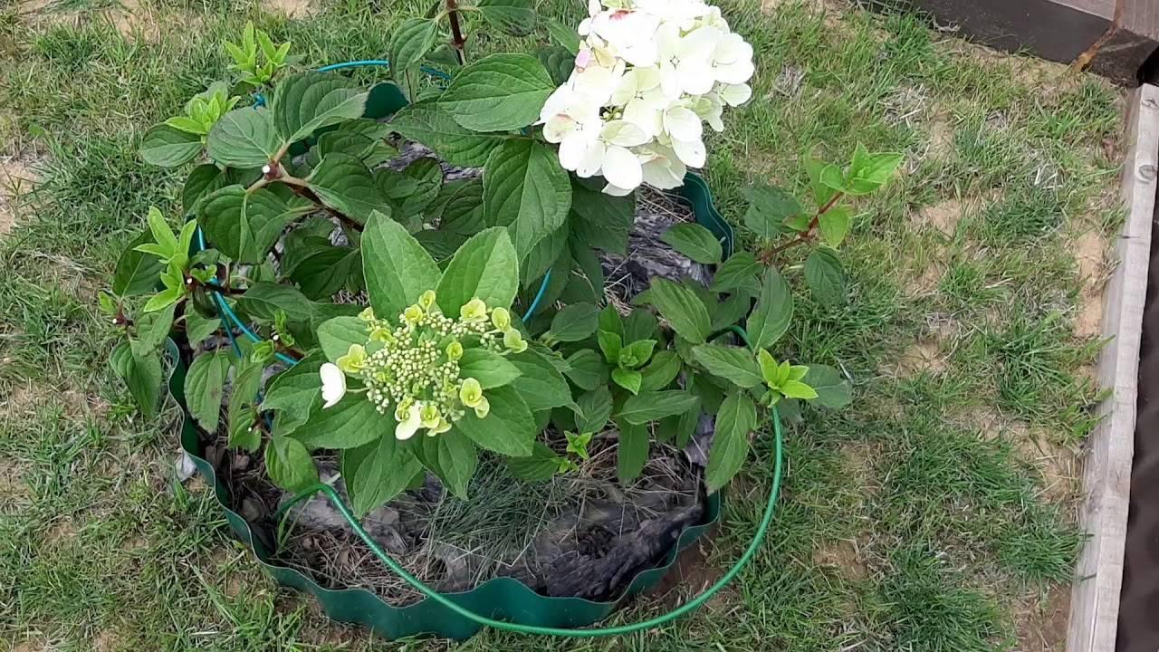 Как правильно ухаживать за метельчатой гортензией бобо? выращивание и подготовка к зиме