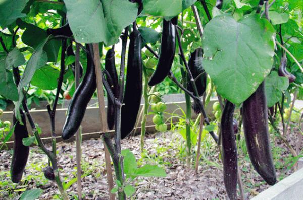 Баклажаны в сибири - огород