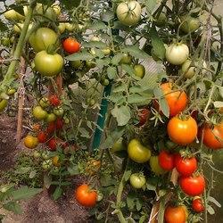 Описание и особенности выращивания томата верлиока