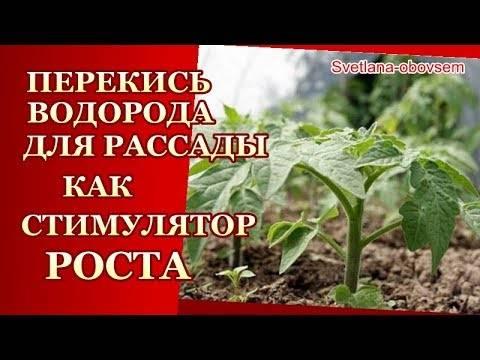 Как осуществить подкормку рассады и взрослых помидоров перекисью водорода не навредив растениям?