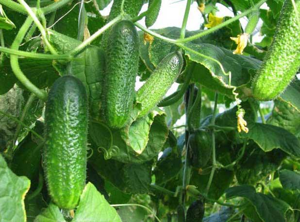 Лучшие сорта огурцов для теплиц из поликарбоната: самоопыляемые, высокоурожайные, ранние