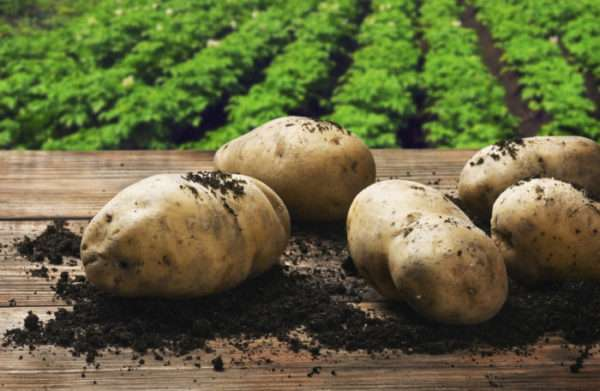 Новичок из европы — картофель гранада: описание сорта, характеристика и фото