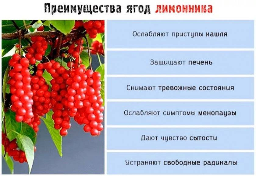 Повышает ли лимонник давление: лечение настоями, таблетками, отварами, чаем