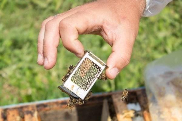 Подсаживание маток на моей пасеке | практическое пчеловодство