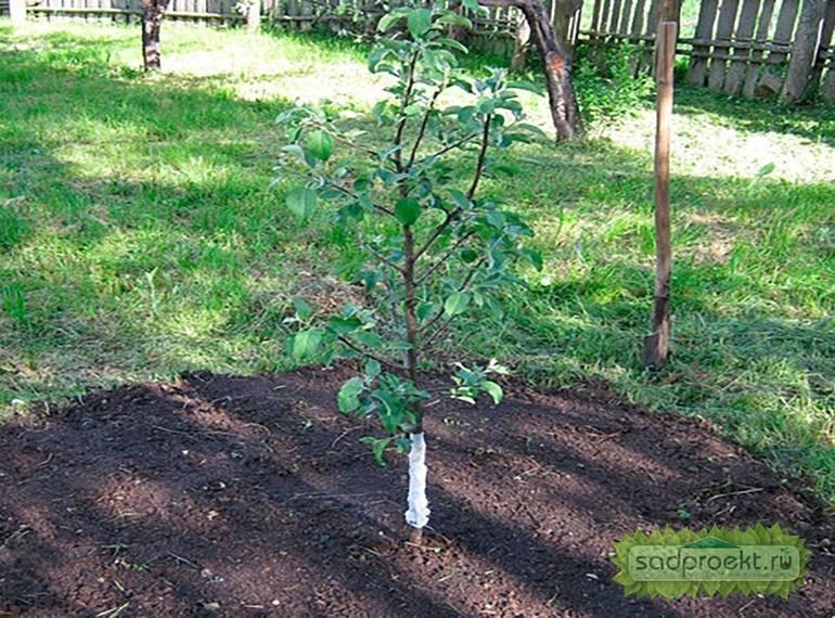 Как посадить яблоню осенью?