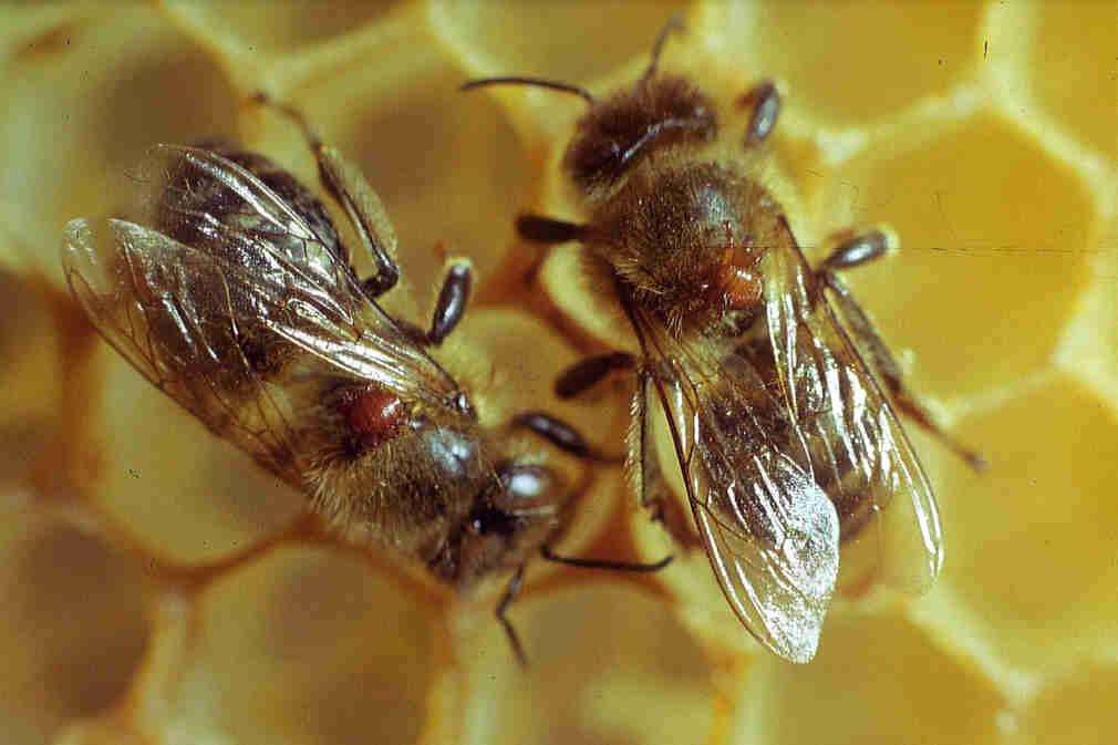 Болезни пчёл, признаки и способы лечения, профилактики