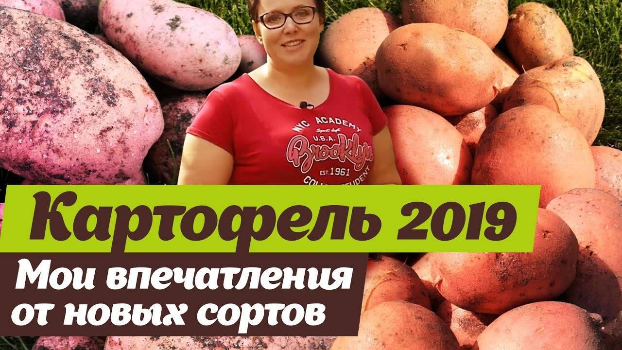 Сорт картофеля «киранда»: характеристика, описание, урожайность, отзывы и фото