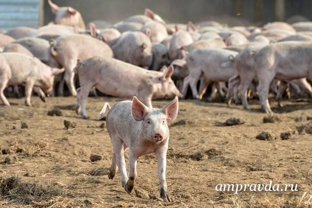 Африканская чума свиней (ачс): признаки заболевания, фото