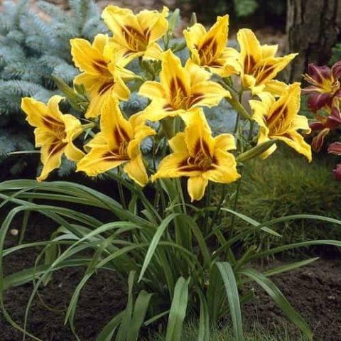 Виды и сорта лилейника (76 фото): лилейники гибридные, цветущие все лето, миддендорфа, другие виды. «франс хальс» и «катерина вудбери», другие сорта