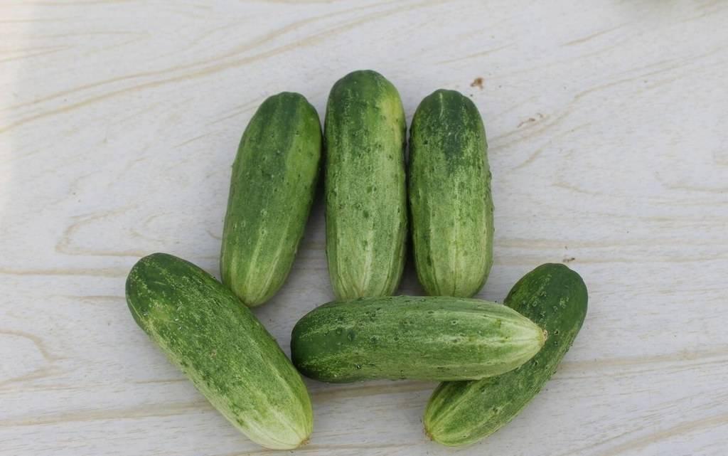 Сорт огурцов «хабар»: фото, видео, описание, посадка, характеристика, урожайность, отзывы