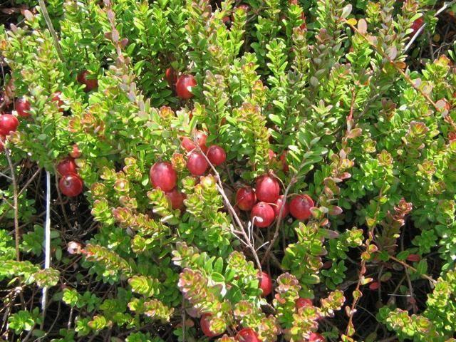 Клюква: особенности выращивания в открытом грунте