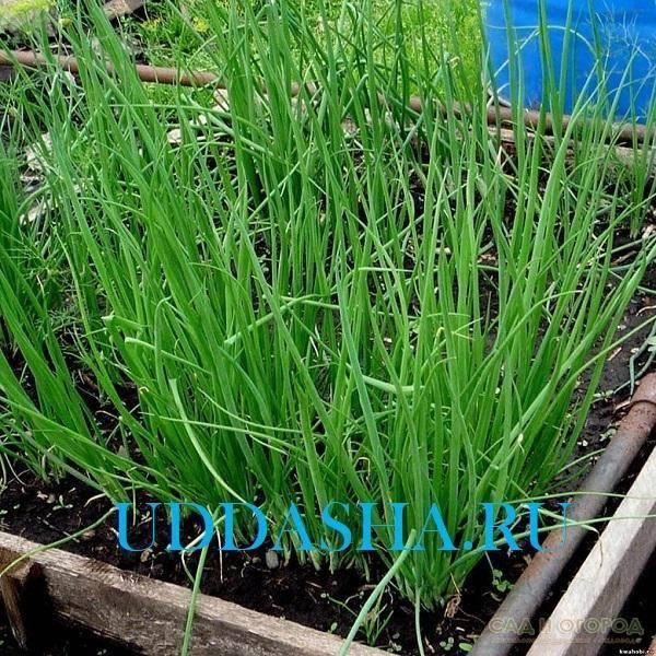 Лук-батун: секреты выращивания из семян