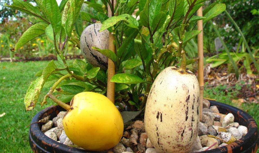Пепино (дынное дерево) - выращивание в домашних условиях сортов консуэло, рамзес