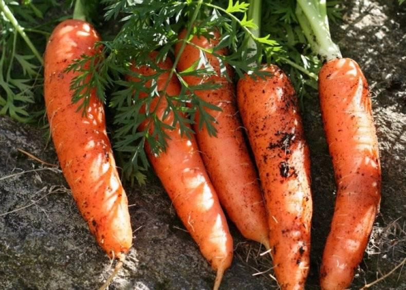 Лучшие сорта моркови для вашего огорода