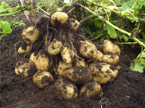 Характеристика раннего картофеля импала с фото и отзывами