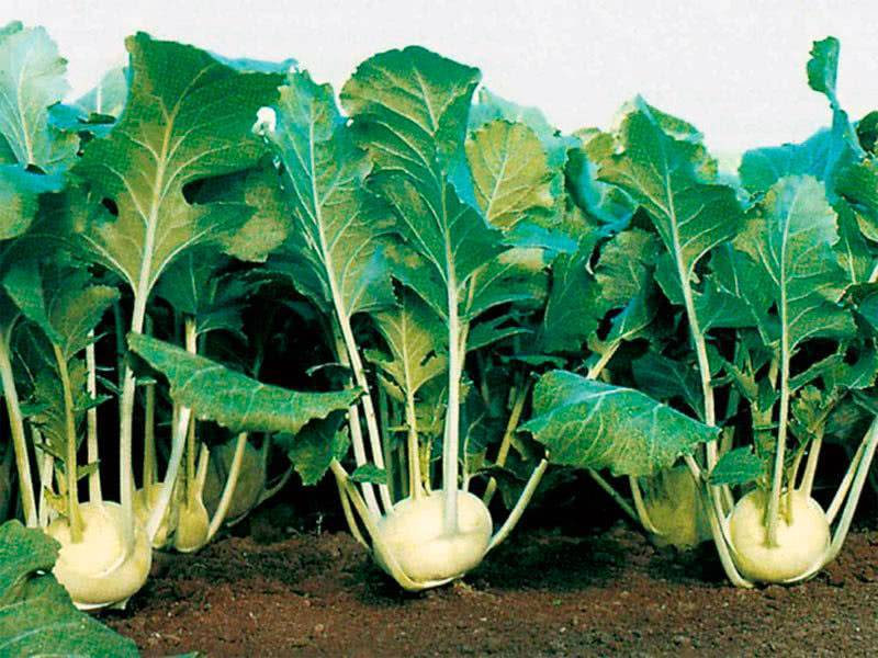 Капуста кольраби: выращивание в открытом грунте рассадой и семенами