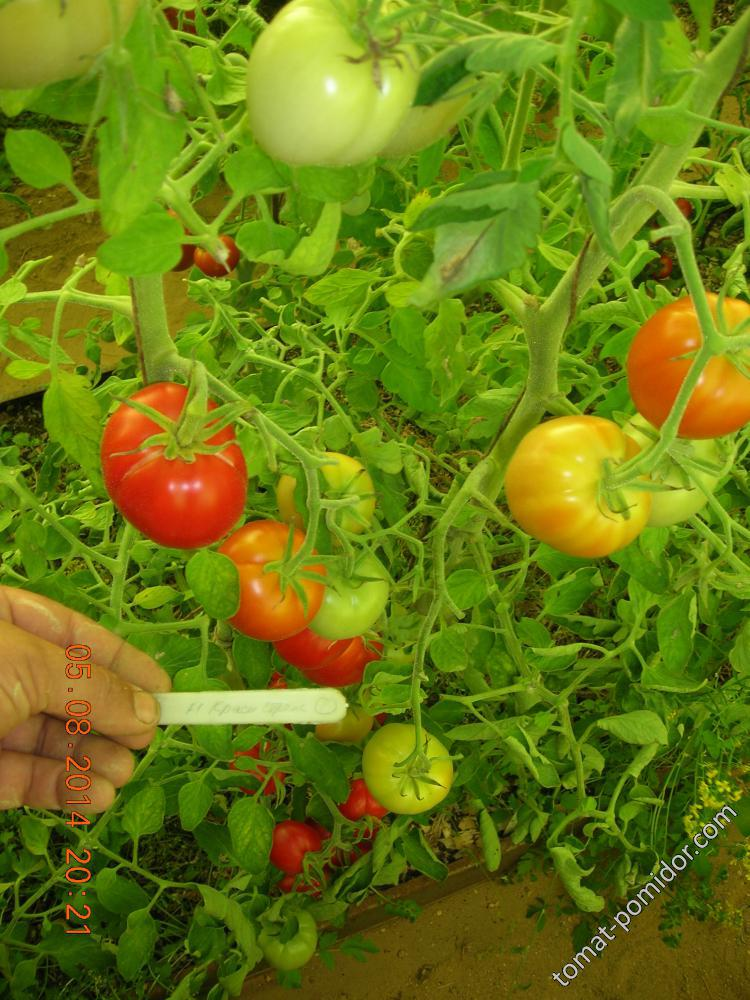 Томат тепличный красная стрела f1: детальное описание, особенности выращивания, отзывы